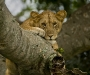 Tree climbing lion