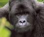 gorilla-70_45
