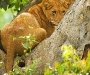 lion_queen_elizabeth_national_park_uganda_wildlife_safari_packge