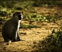 Vervet Monkey