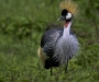 Crowned crane