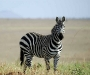 uganda-zebra